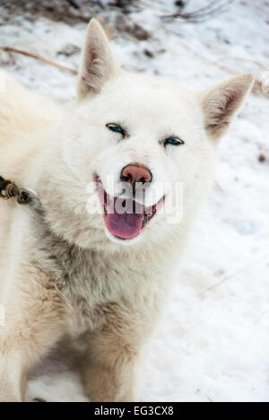 Portrait of a white arctic sled dog with a happy smile. - Stock Image