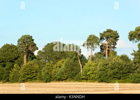 Nottinghamshire, mature woodland alongside arable field with stubble. - Stock Image