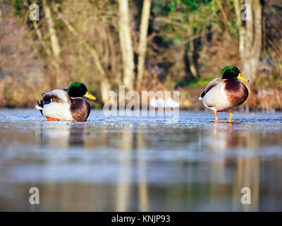 Ashbourne, Derbyshire. 12th Dec, 2017. UK Weather: duckes on the frozen ice lake in the market town of Ashbourne - Stock Image