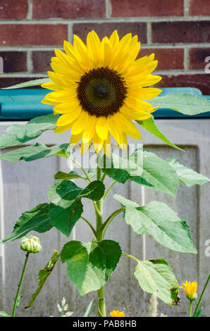 A sunflower in a garden. - Stock Image