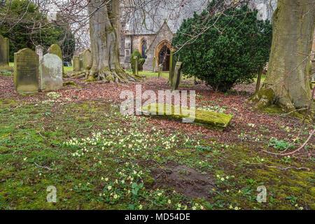 Wild flowering primroses Primula Vulgaris amongst the gravestones in the churchyard at Startforth, Barnard Castle - Stock Image