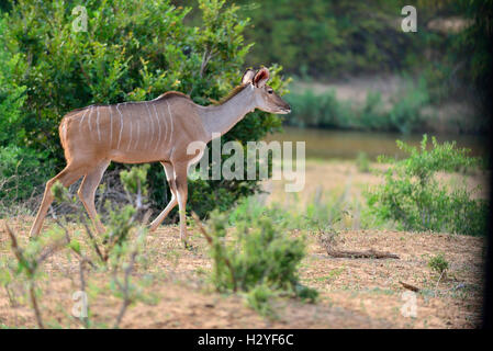 Female Nyala on the river bank of the  Lower Sabie River   Kruger Park , South Africa - Stock Image