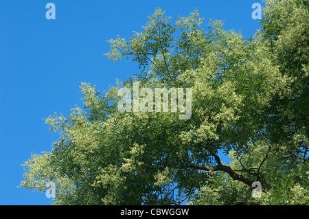 Pagoda Tree (Styphnolobium japonicum, Sophora japonica), flowering branch. - Stock Image