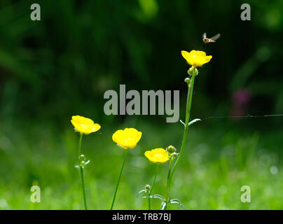 Yellow buttercup flowers insect hovering - Stock Image