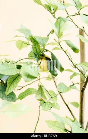 Lemon on tree - Stock Image