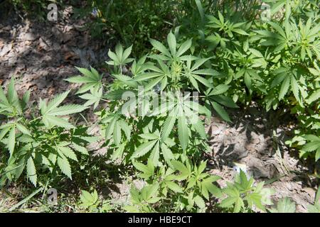 Wild cannabis plants growing by the roadside in northern Pakistan - Stock Image