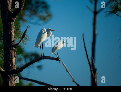 Egrets in Tree - Stock Image