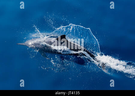 Spinner Dolphin (Stenella longirostris) surfacing in the glassy calm sea of Indonesia - Stock Image