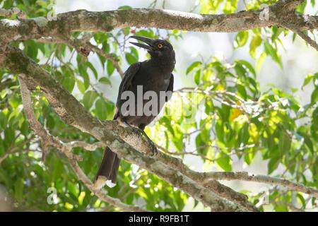 Pied Currawong (Strepera graculina) with open beak, Lake Tinaroo, Atherton Tableland,  Far North Queensland, FNQ, QLD, Australia - Stock Image