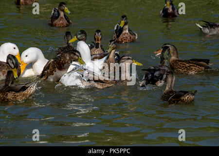 First season male mallard duckling duck leaping out of the water for duck pellets with white heavy Long Island American Pekin Ducks amongst the flock  - Stock Image