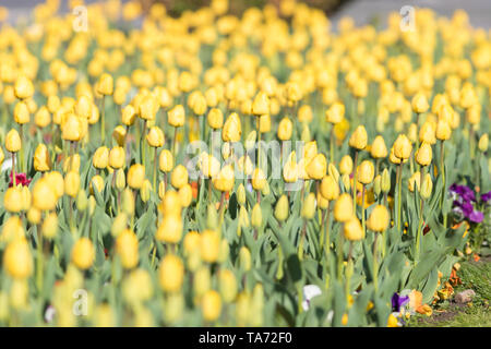 Yelow Tulips on the field with two puprle flowers, flower beds in outdoor - Stock Image