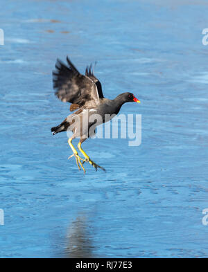 Moorhen UK Gallinula chloropus flying, frozen lake London UK - Stock Image