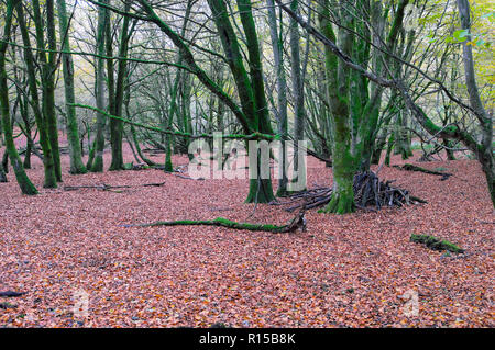 Beech woodland floor in autumn covered in beech leaves with green moss on bare trees in Dinefwr Park Llandeilo Carmarthenshire Wales UK  KATHY DEWITT - Stock Image