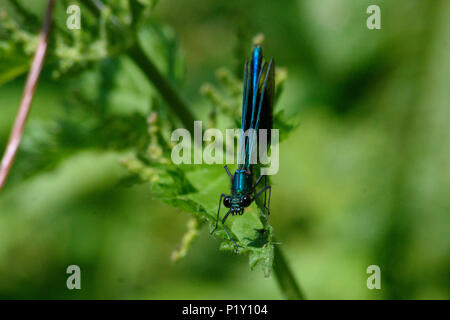 A dark turquoise blue banded demoiselle damselfly perched on the end of a stinging nettle leaf on a river bank - Stock Image