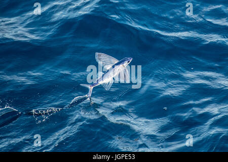 Flying fish species taking off, several hundred miles off Mauritania, North Africa, North Atlantic Ocean - Stock Image