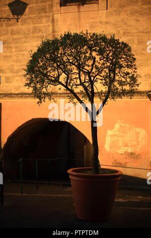 Olive tree Grasse,Alpes Maritimes, 06, PACA, France - Stock Image