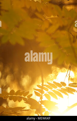 The serrated leaves of a mountain ash are lit by the bright autumn sun. A lake glitters in the background. - Stock Image