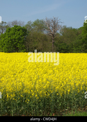 Yellow oil seed rape in farm fields with line of trees in background and blue sky, Oxfordshire. - Stock Image