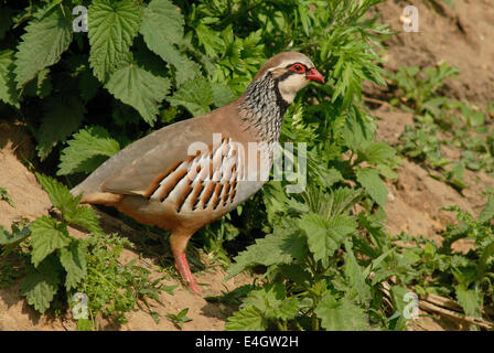 A cock Red-legged Partridge (Alectoris rufa) in spring - Stock Image