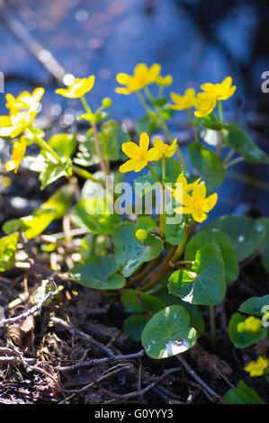 Kabbeleka that grows at a watercourse. - Stock Image