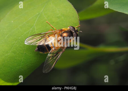 Hoverfly (Epistrophe eligans) female perched on plant leaf. Tipperary, Ireland - Stock Image