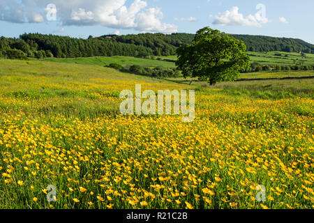 Field full of buttercups near to Kildale village in the North York Moors national park - Stock Image