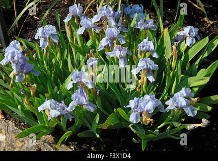 Iris 'Blue Denim' plants in flower - Stock Image