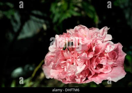 Bee amongst petals of Peony form Opium Poppy (Papaver somniferum), variety Breadseed. - Stock Image