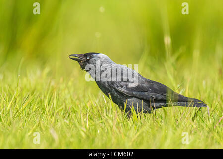 Closeup portrait of a Western Jackdaw bird Coloeus Monedula foraging in green grass on a sunny day - Stock Image