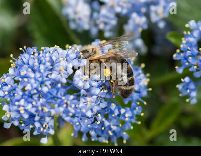 Mining bee (Andrena) collecting pollen on hairs on hind legs from Californian lilac (Ceanothus) shrub in Spring (May), West Sussex, UK - Stock Image