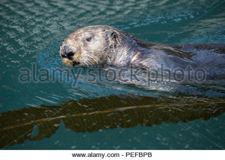 An otter swims off the Inian Islands. - Stock Image