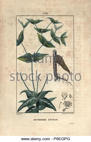 Caper spurge, Euphorbia lathyris. Handcoloured stipple copperplate engraving by Lambert Junior from a drawing by Pierre Jean-Francois Turpin from Chaumeton, Poiret et Chamberet's 'La Flore Medicale,' Paris, Panckoucke, 1830. Turpin (17751840) was one of the three giants of French botanical art of the era alongside Pierre Joseph Redoute and Pancrace Bessa. - Stock Image