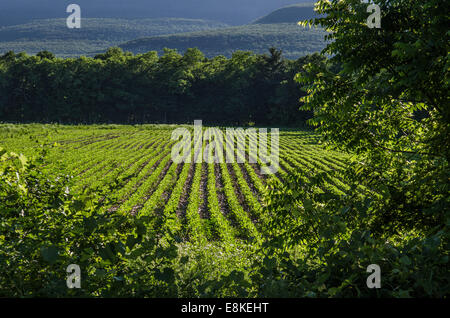 cultivated soybean plant field daytime - Stock Image