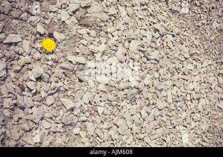 Conceptual symbolic loneliness one coltsfoot Tussilago farfara among many pebbles - Stock Image