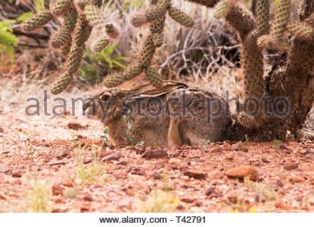 Black-tailed Jackrabbit,Lepups californicus, laying on ground under cholla cactus in Arizona USA - Stock Image