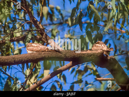 Jungle Nightjar, Caprimulgus indicus, perched on branch and camouflaged, Keoladeo Ghana National Park, Bharatpur, - Stock Image