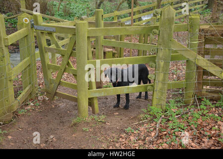 Black labrador retriever waiting to be let through a kissing gate on a footpath - Stock Image