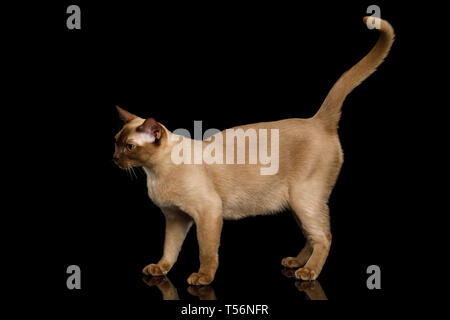 Chocolate Cat Burmese walk of full length on isolated black background, side view - Stock Image
