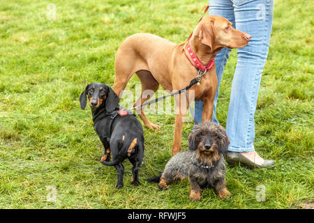 Woman with three dogs on leash - Stock Image