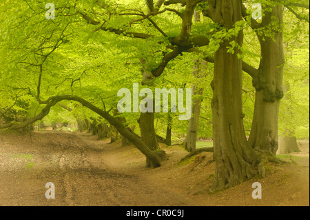 Soft focus view of beech woodland in spring. Ashridge Forest, Hertfordshire, England. May. - Stock Image
