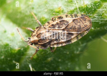 Lace bug (Tingis cardui) on creeping thistle. Tipperary, Ireland - Stock Image