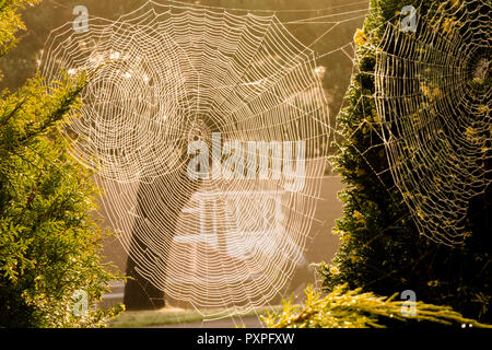 Overlapping of three webs of Garden Cross spider, Garden Spider, Araneus diadematus, Cross spider, October. Sussex, UK. - Stock Image