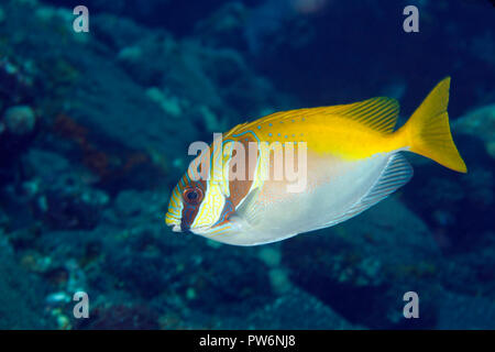 Doublebar Rabbitfish, also known as Barhead Spinefoot, Siganus virgatus. Tulamben, Bali, Indonesia. Bali Sea, Indian Ocean - Stock Image