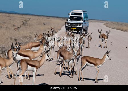 Tourists viewing a herd of Springbok, Antidorcas marsupialis, from a safari vehicle in Etosha National Park, Namibia, - Stock Image
