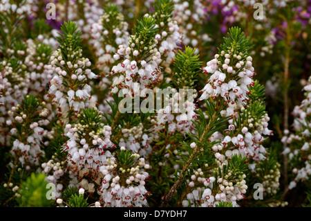 Cornish heath (Erica vagans: Ericaceae), The Lizard, Cornwall UK - Stock Image