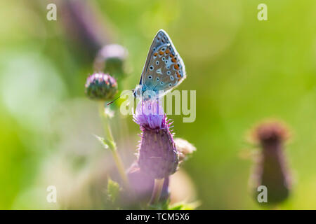 Female Common Blue butterfly Polyommatus icarus pollinating on thistle flower in a meadow under bright sunlight. - Stock Image