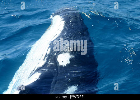 Close-up encounter with a curious Humpback Whale (Megaptera novaeangliae) at Hervey Bay, Australia. Photo series 1 of 3 - Stock Image