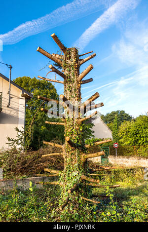 Ugly tree from harsh branch lopping - France. - Stock Image