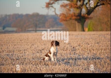 Springer spaniel on an Autumn morning - Stock Image