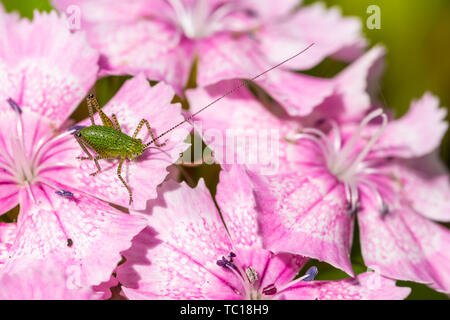 Macro photograph of nymph speckled bush cricket (Leptophyes punctatissima) in profile, perched on Maiden pink flowers. Taken in Poole, Dorset, England - Stock Image